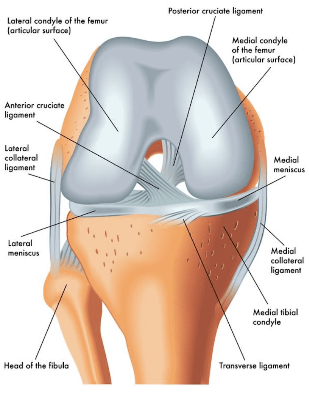 Diagram showing parts of the knee