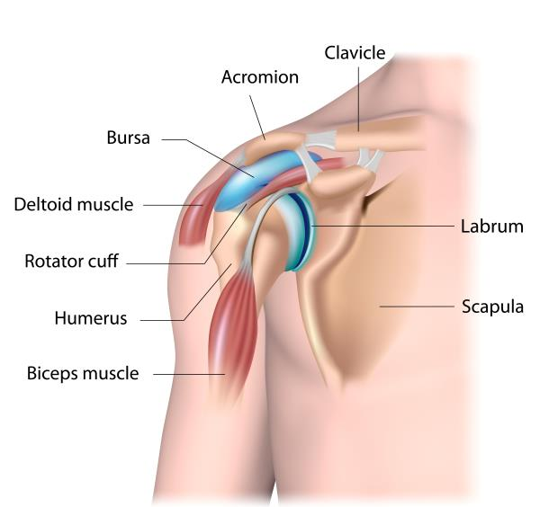 Diagram of human shoulder with bursa and other parts labeled