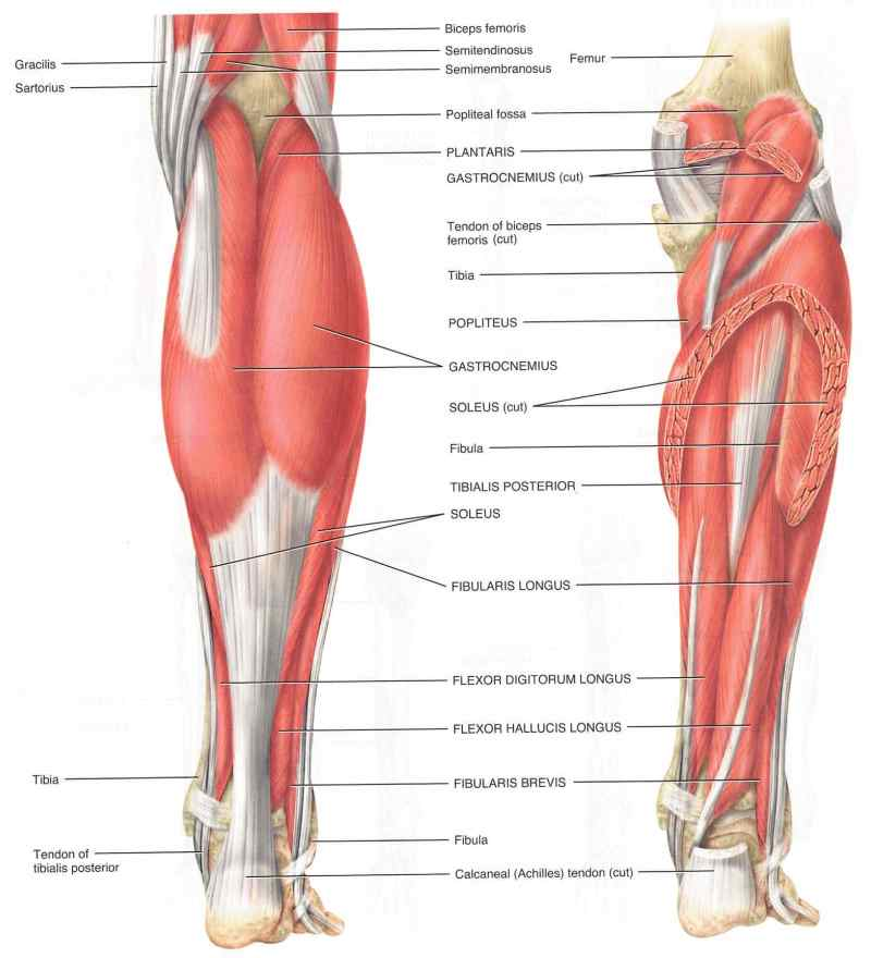 Diagram showing various parts of the shin